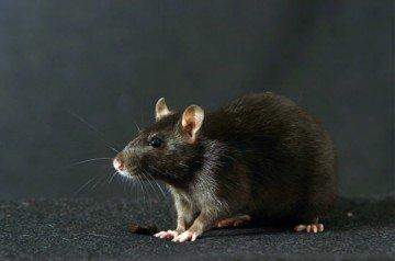 ratnoir5.jpg